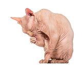 Sphynx Hairless Cat grooming against white background