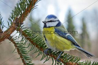 Blue tit on a fir tree branch.