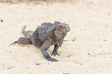A large iguana walks the sand to the camera close-up