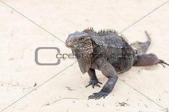 A large iguana walks the sand to the camera close-up
