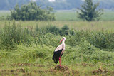 Stork in the meadow in summer.