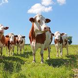 Montbeliarde cattle