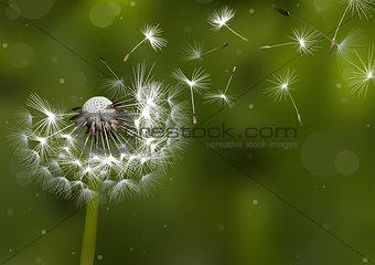 Dandelion Seeds in the Sunlight
