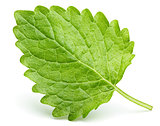 Green lemon balm leaf (Melissa officinalis) on white