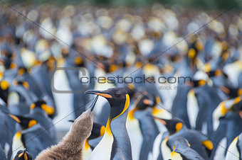 King Penguins colony Gold Harbour
