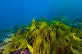 Kelp on ocean bottom off Catalina island, CA