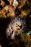 Christmas Tree worm (Spirobranchus spinosus)