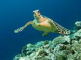 Reef turtle