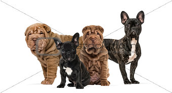 Shar Pei puppies and french bulldogs together against white back
