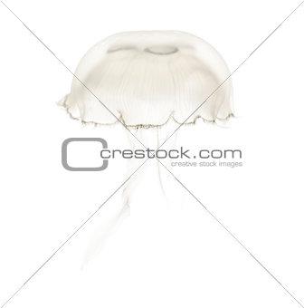 Aurelia aurita also called the common jellyfish against white ba