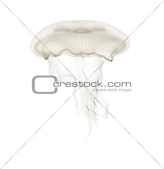 Aurelia aurita also called the common jellyfish against white ba