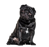 Pug, 1 year old, sitting against white background