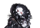 Jacobin pigeon portrait against white background
