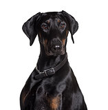 Doberman wearing collar, looking at camera against white backgro