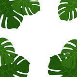 Tropical monstera leaves frame