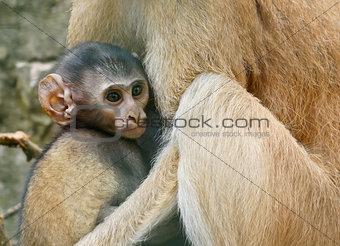 A beautiful baby vervet monkey hanging off mom