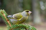 Greenfinch, Carduelis chloris.