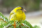 Male Siskin perched on a branch. Carduelis spinus (L.)