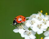 ladybird little pollinates a beautiful flower