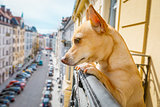 nosy watching dog from balcony