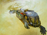 Red-eared turtle has surfaced on the surface water.