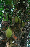 Jackfruits on a tree