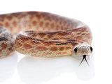 Cape Gopher Snake (Pituophis catenifer vertibralis)