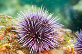 Purple Sea Urchin (Strongylocentrotus purpuratus) along Anacapa