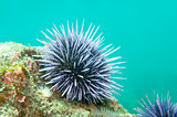 Purple Sea Urchin (Strongylocentrotus purpuratus)