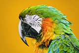 The Macaw Parrot