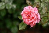Full bloom pink
