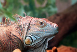 Closeup Of An Iguana