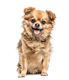 Chihuahua sitting and panting, isolated on white