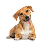 Jack russell lying and panting, isolated on white