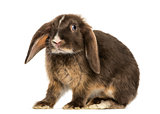 Mini lop rabbit standing, isolated on white