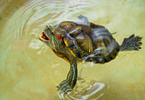 Red-eared turtle with an open mouth on the surface of the water.Protected, trying to bite.