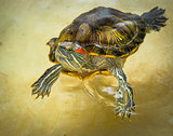 Red-eared turtle floats on the surface of the water.