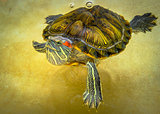 Turtle swims in the water top view.