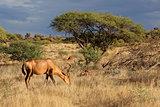 Red hartebeest in natural habitat