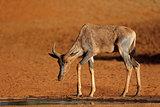 Tsessebe antelope at a waterhole