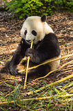 Giant panda sitting on the meadow busy eating bamboo chunks in a