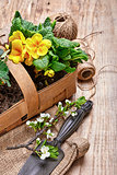 Garden flowers primula in wicker basket