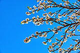 Blooming tree plum on background blue sky