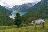 White horse on a hillside. Kucherla lake. Altai Mountains, Russia