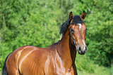 portrait of young  sportive stallion