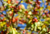 Abstract defocussed tree with red crab apples and green foliage