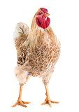Wyandotte chicken in studio