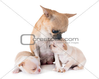 puppies chihuahua and mother