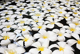 A lot of white orchids with yellow centers on a water background, protruding from a pool of clear water