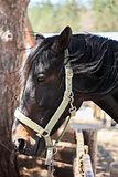 Portrait of Beautiful Black Arabian horse